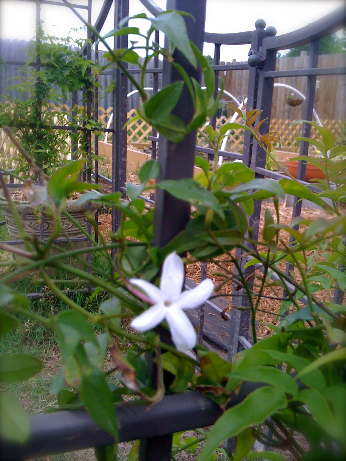 Pink Jasmine Bloom